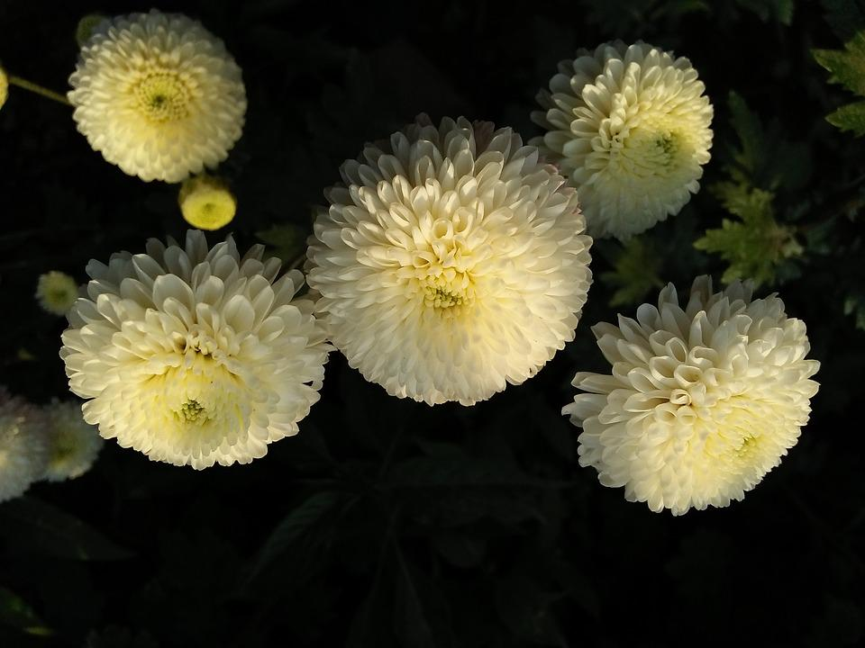 Chrysanthemum, White, Dark, Color