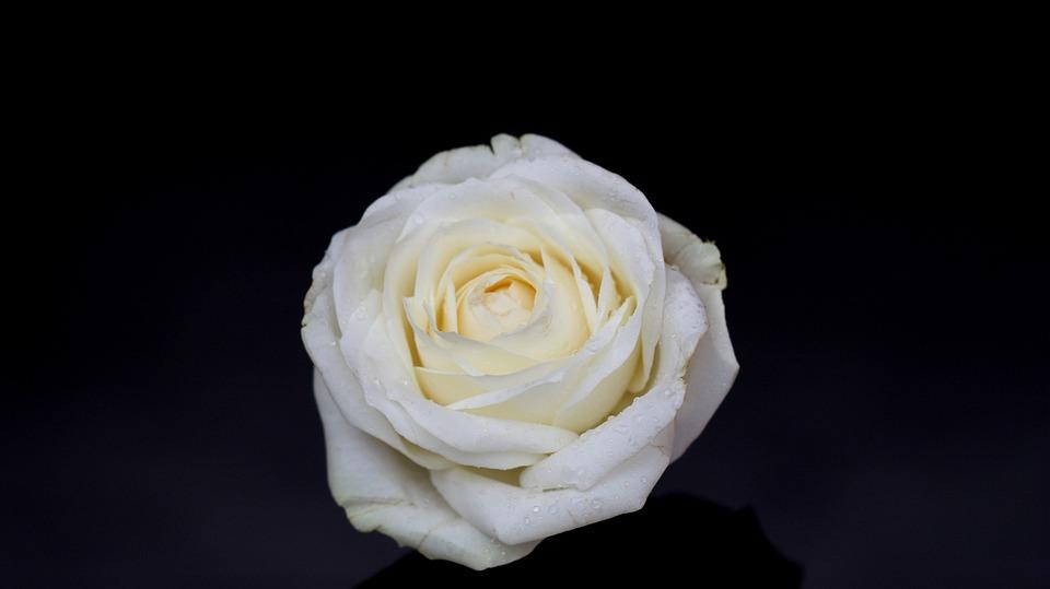 Rose, White, Petals, Dark, Flower