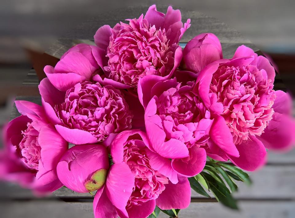 Free photo dark pink large flowers pink flower peony bouquet max pixel peony bouquet large flowers flower dark pink pink mightylinksfo