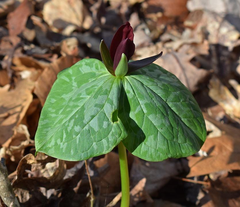 Trillium Recurvatum, Dark Red Trillium, Velvet-red