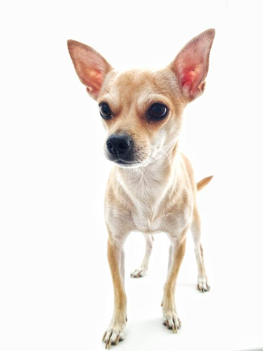 Dog, Chihuahua, White Background, Darling, Animals
