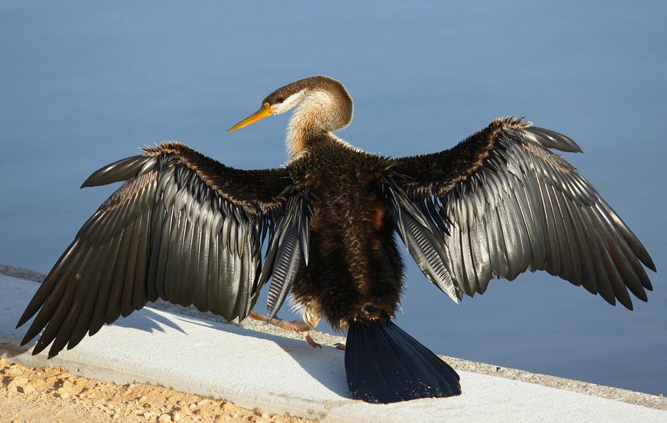 Darter, Dry, Wing, West Australia, Swanriver