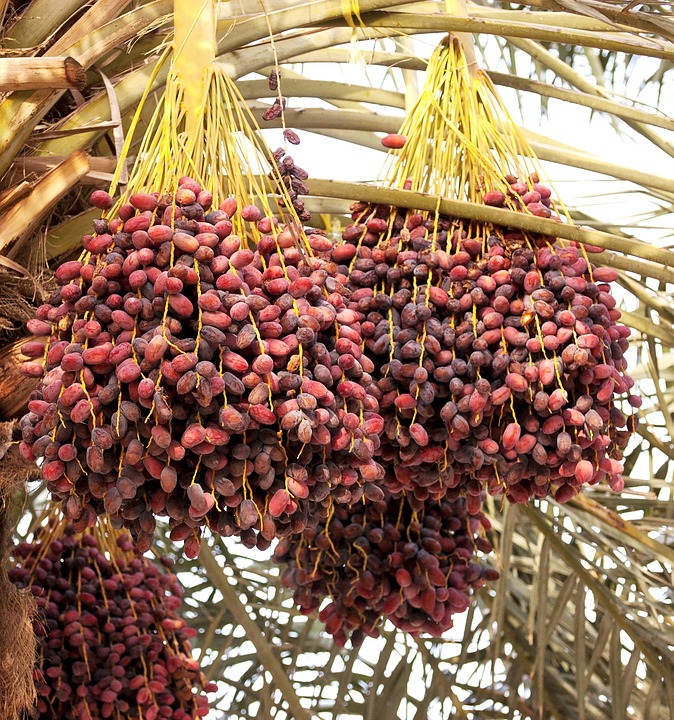 Dates, Palm Tree, Tropical, Fruit, Food, Plant, Ripe