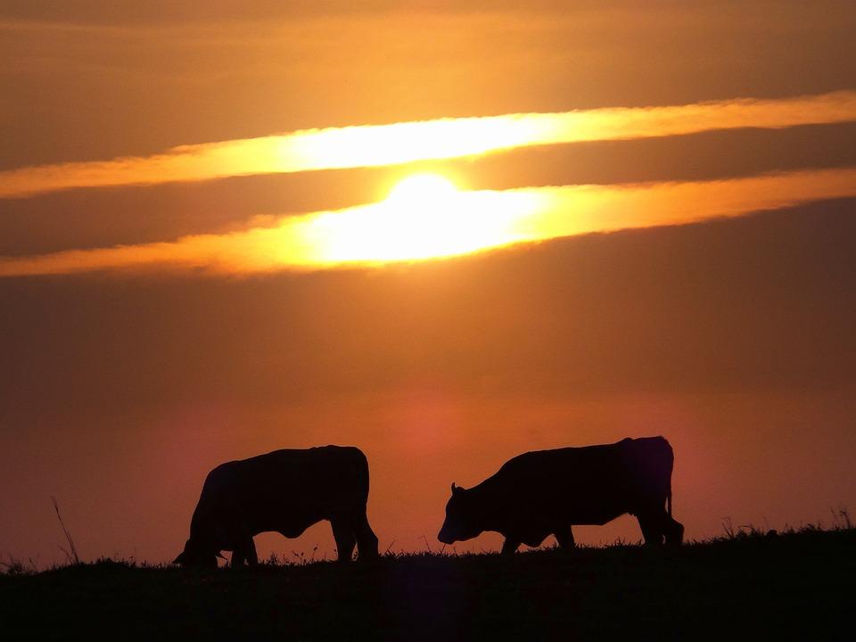 Bois, Cattle, Sol, Clouds, Dawn