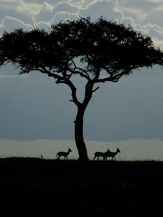 Wildlife, Gazelle, Dawn, Nature, Africa, Acacia