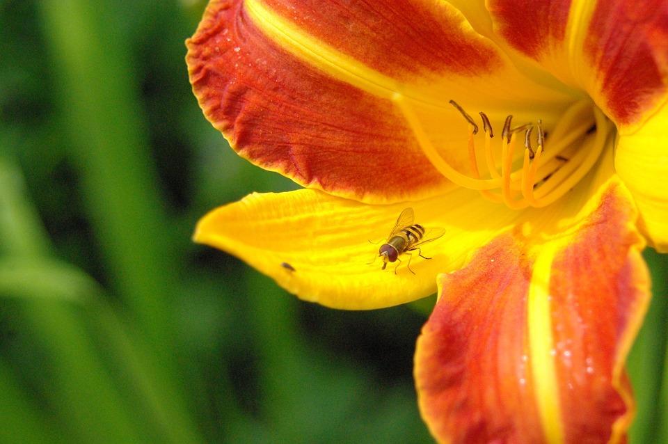 Sun, Daylily, Day Lily Plants, Hemerocallidoideae