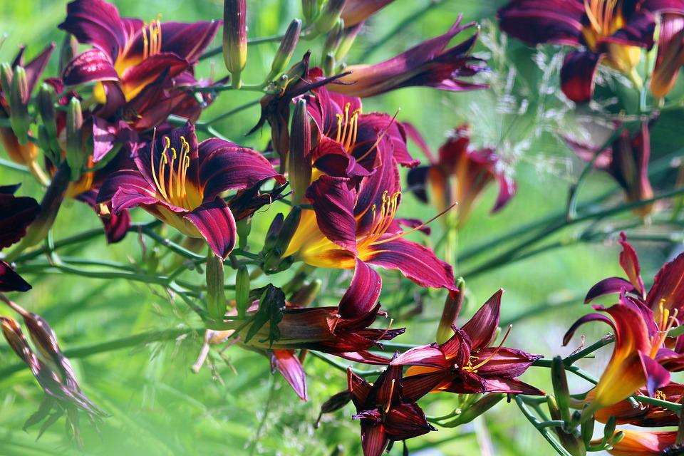 Day-lily, Flowers, Nature, Plants, Summer, Garden
