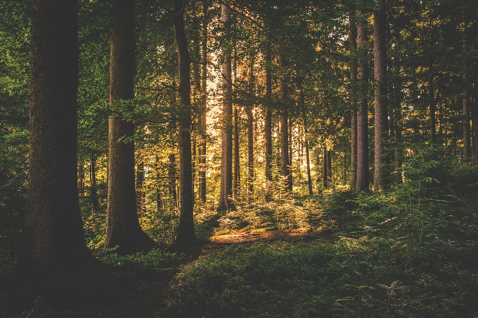 Conifer, Sunrise, Daylight, Periwinkle, Forest, Grass