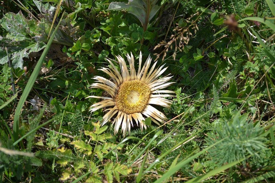 Sunflower, Dead Flower, Flower, Dead, Dry