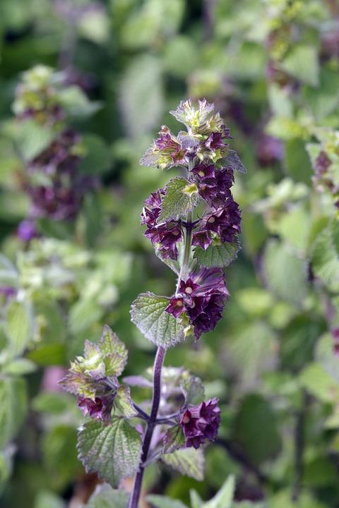 Dead Nettle, Wildflower, Purple, Flower, Weed