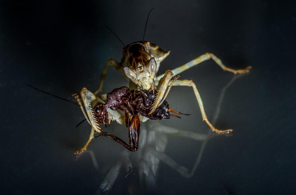 Mantis, Insect, Nature, Deadly