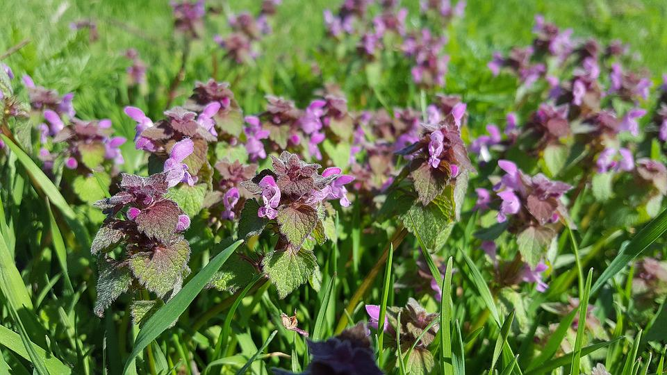 Lamium Purpureum, Purple Deadnettle, Deadnettle