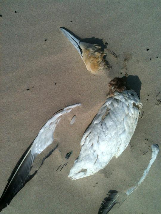 Bird, Beach, Sand, Seagull, Death