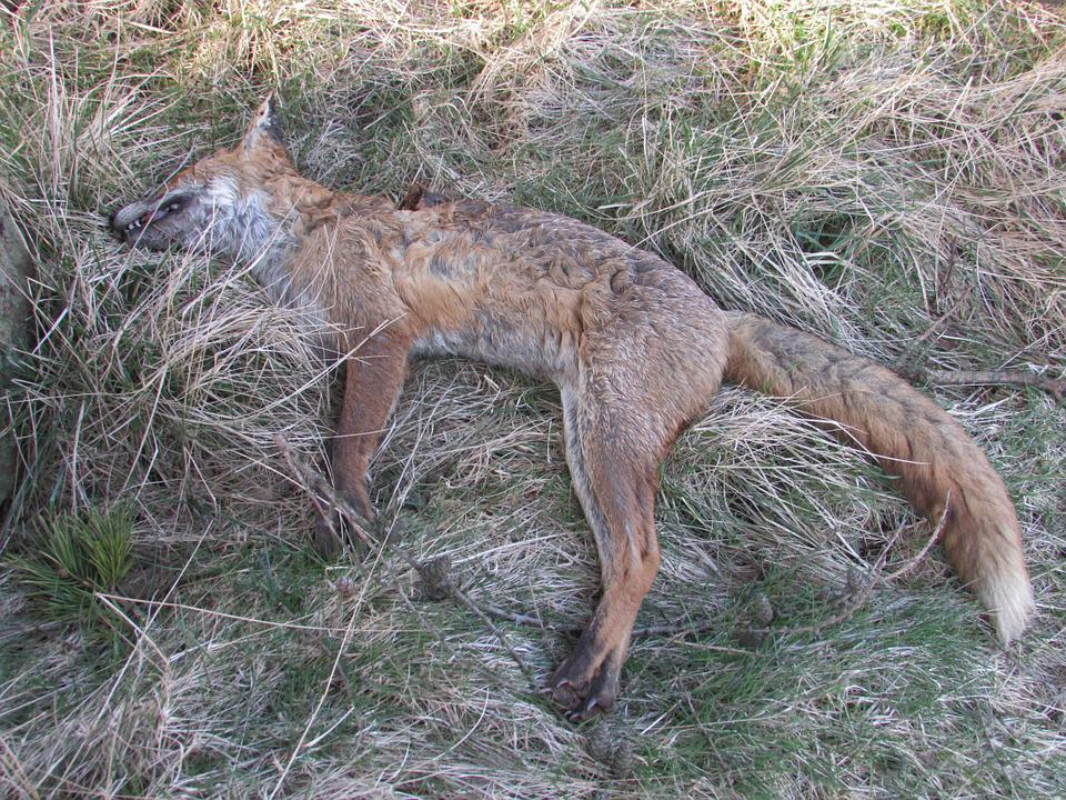 Dead, Fox, Death, Predator, Animal, Carnivore, Wild