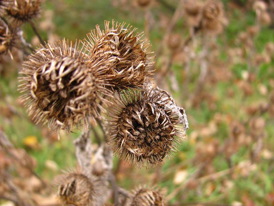 Thistle, Dry, Nature, Outdoor, Death, Flower, Scene
