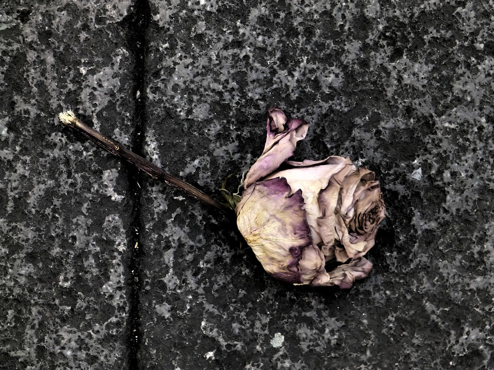 Rose, Death, Flower, Sadness, I Feel Sorry For