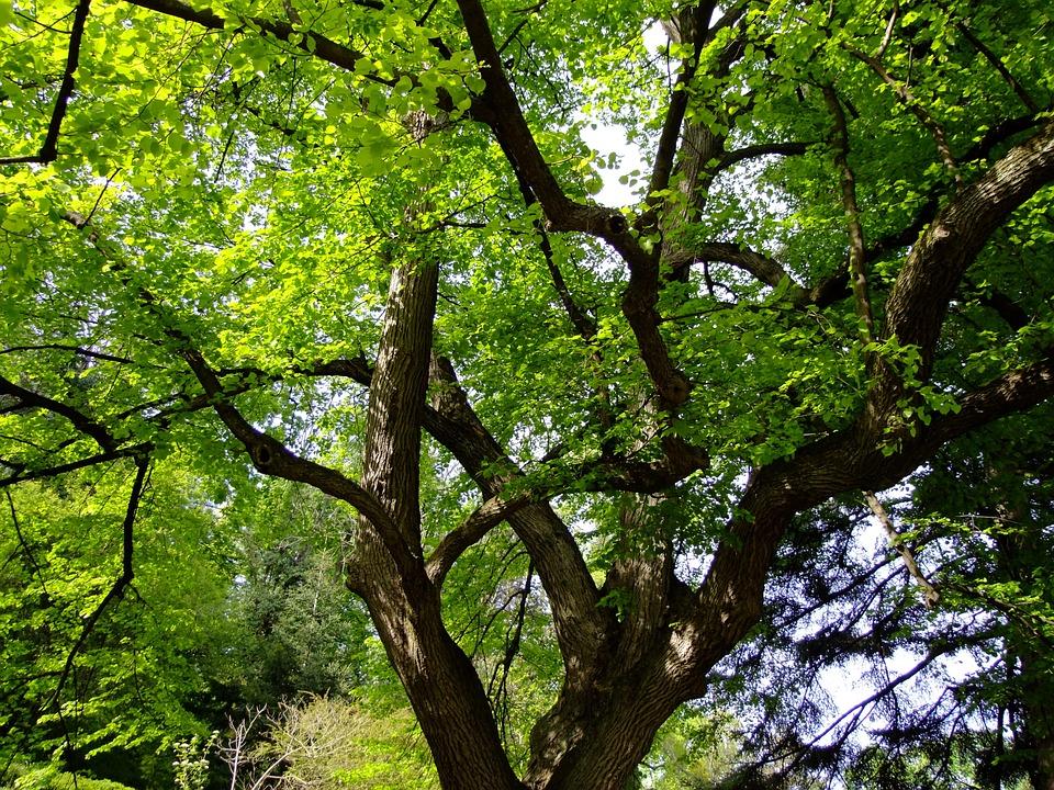 Linde, Tilia, Tree, Malvaceae, Leaves, Deciduous Tree