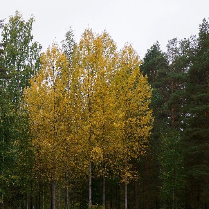 Autumn, Yellow, Deciduous Tree, Birch