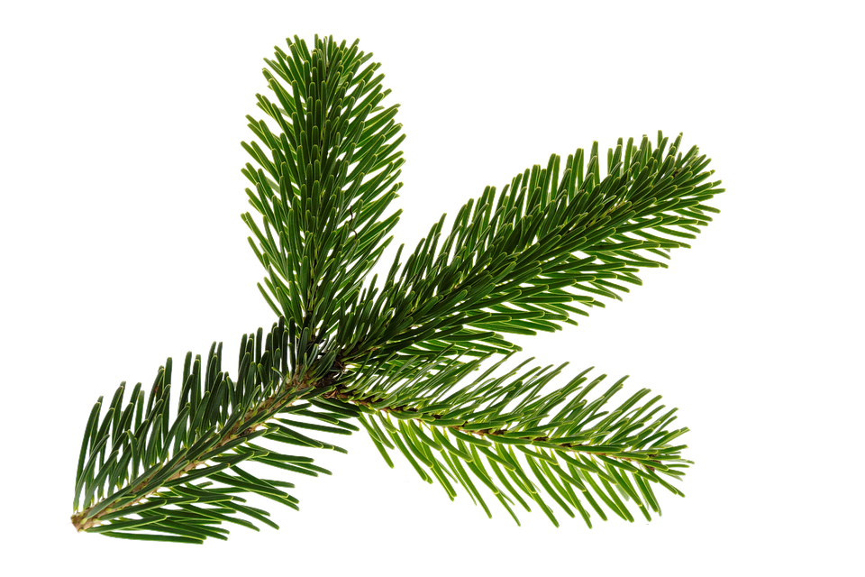 Branch, Nordmann, Green, Isolated, Christmas, Deco