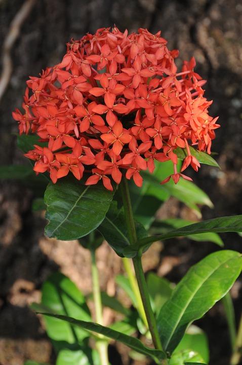 Ecsória, Flower, Garden, Petals, Decoration
