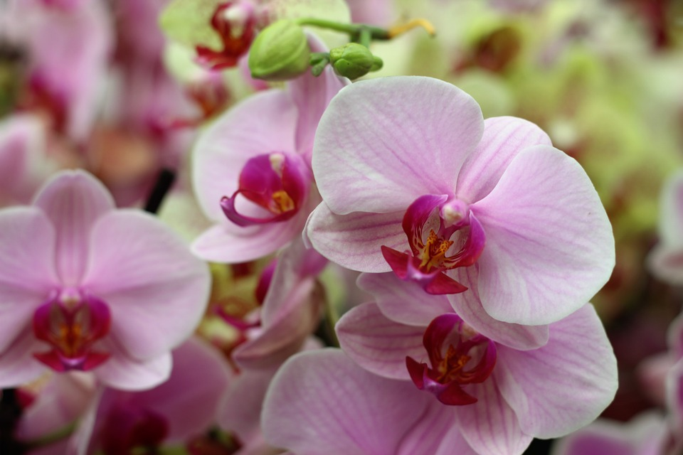 Orchid, Flower, Isolated, Decoration, Bud, Vibrant