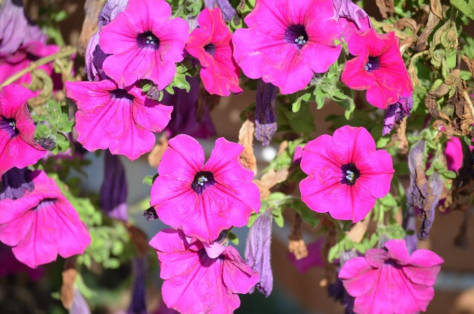 Flower, Petunia, Mov, Supplies, Violet, Decoration