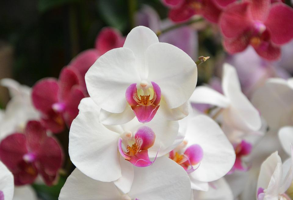 Flower Orchid, White Color, Decoration, Gift Events