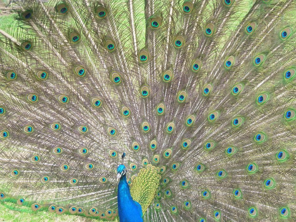 Free photo Decorative Plumage Feathers Colors Peacock Bird