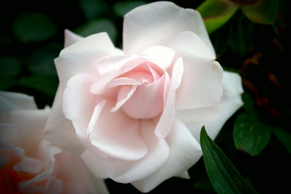 White, Rose, Flowers, View, Decorative