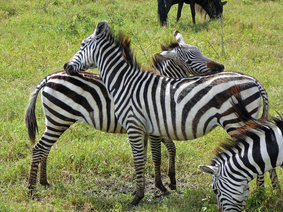 Zebra, Deer, Wild, Ngoro Ngoro, Africa, Tanzania