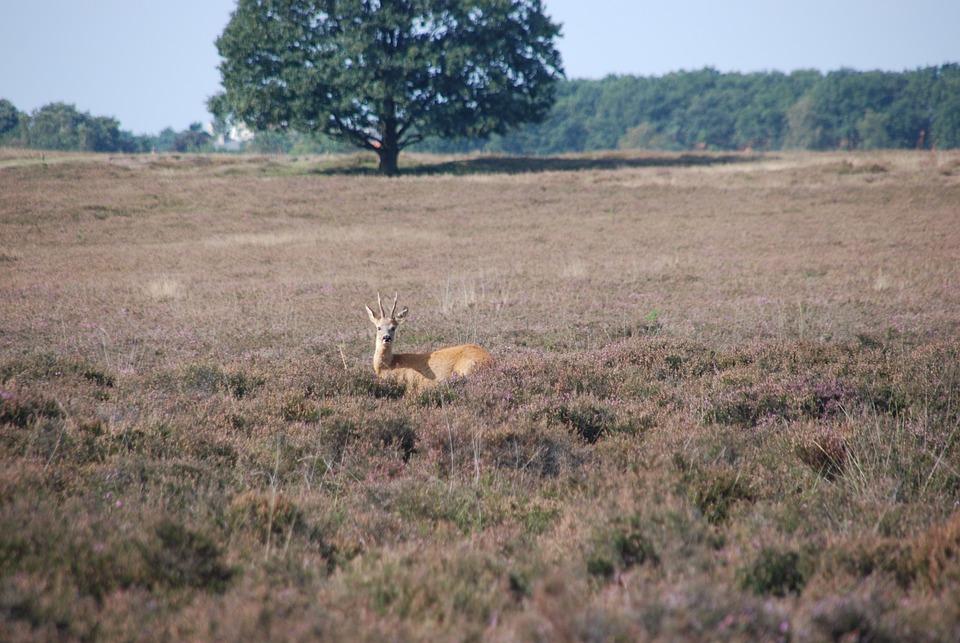 Deer, Ree, Animal, Mammal, Fauna, Heide, Landscape