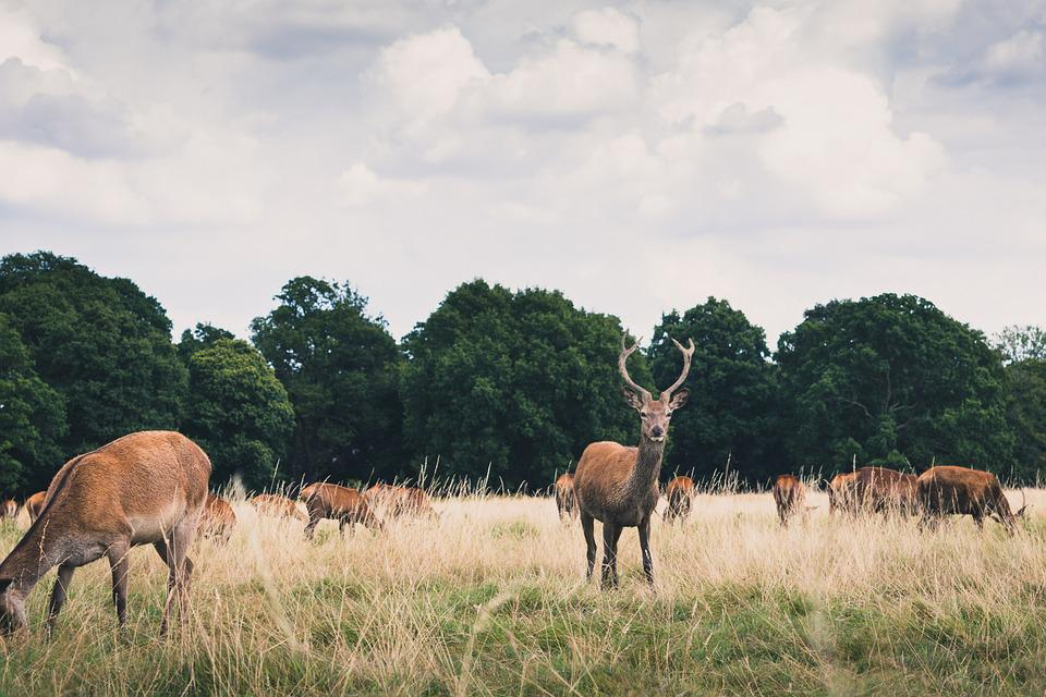 Animals, Antlers, Countryside, Deer, Field, Grass