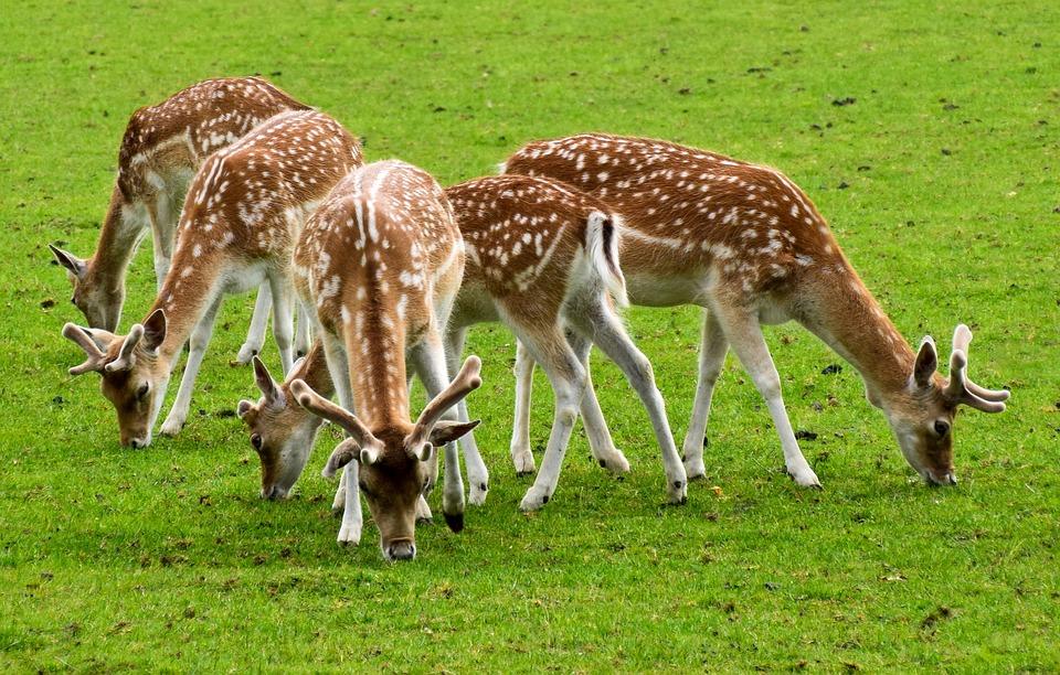 Deer, Animals, Wild, Mammal, Cute, Wild World