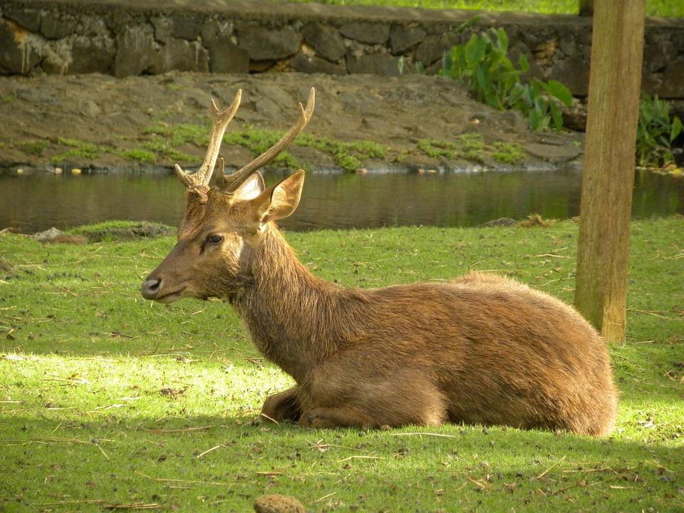 Deer, Male, Captive