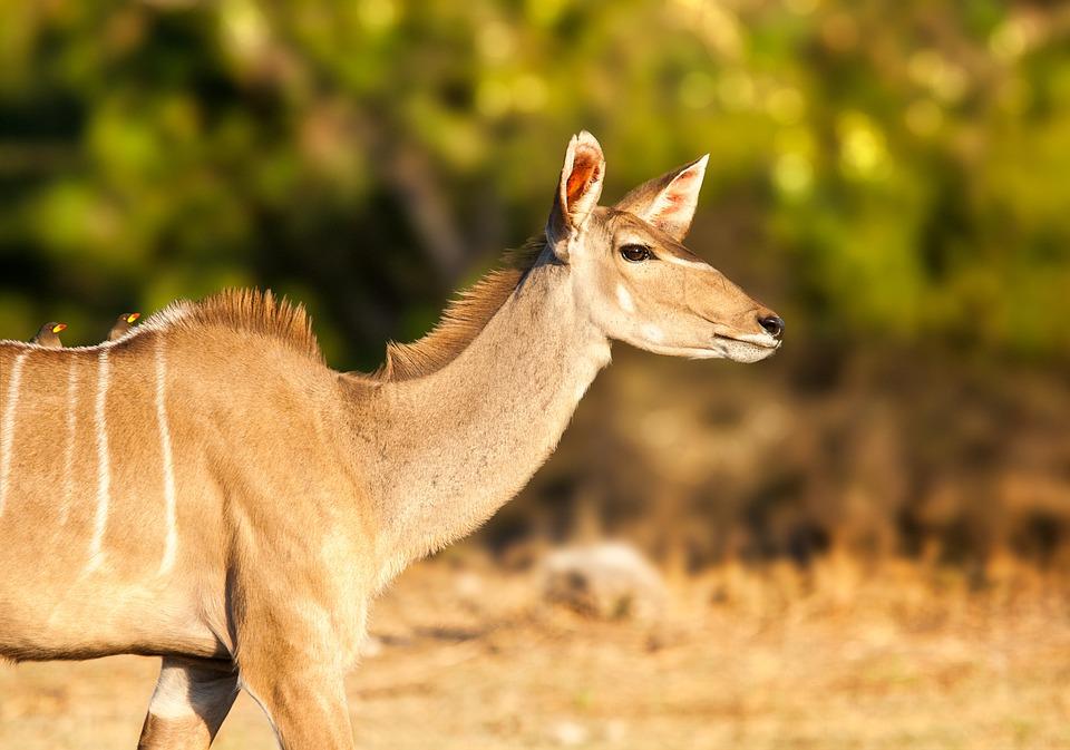 Kudu, Female, African Antelope, Deer, Animal, Wildlife