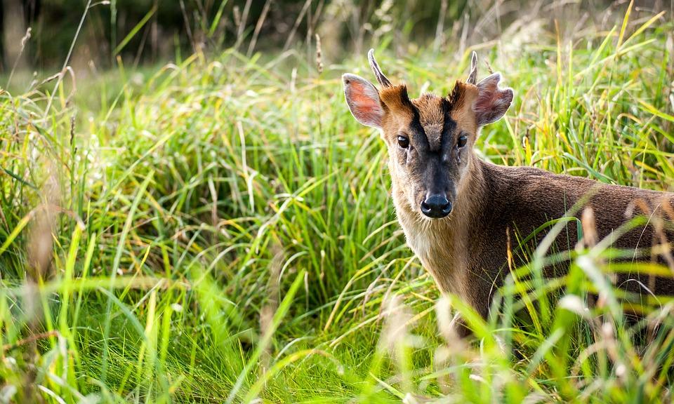 Deer, Fawn, Buck, Baby, Young, Nature, Wildlife, Animal