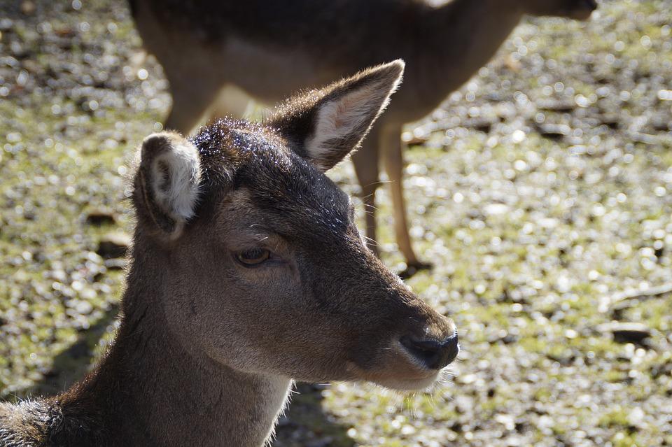 Roe Deer, Ricke, Animal, Mammal, Forest, Deer Park
