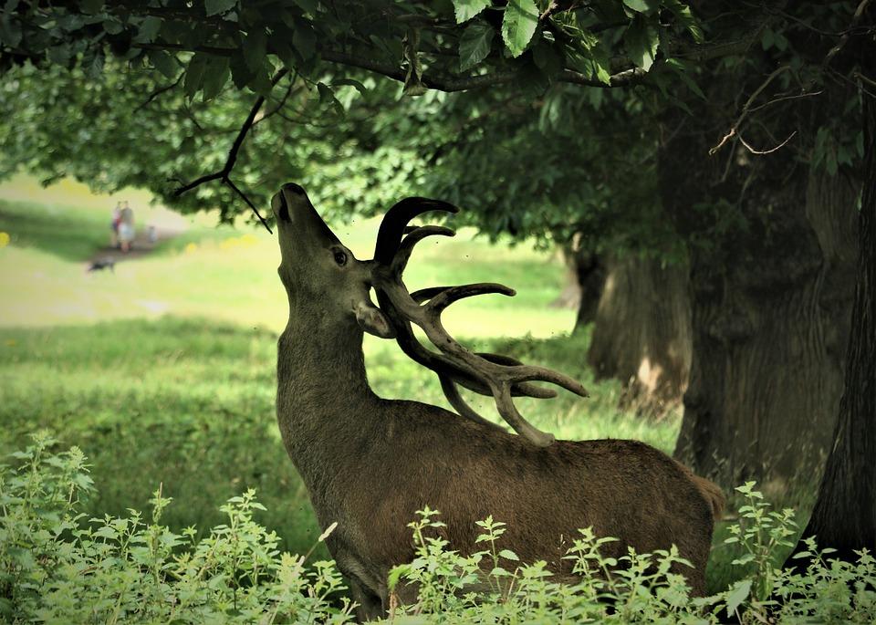 Deer, Antlers, Reaching, Reindeer, Buck, Stag, Wildlife