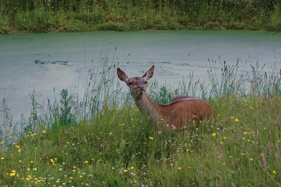 Roe Deer, Deer, Wildlife, Nature, Roe, Animal, Wild