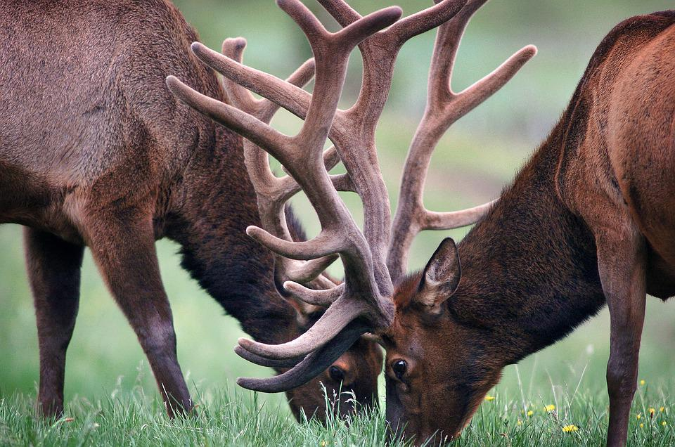 Elks, Antlers, Deers, Pair, Horns, Grass, Graze