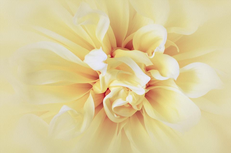 Dahlia, Flower, Yellow, Sunny, Abstract, Delicate