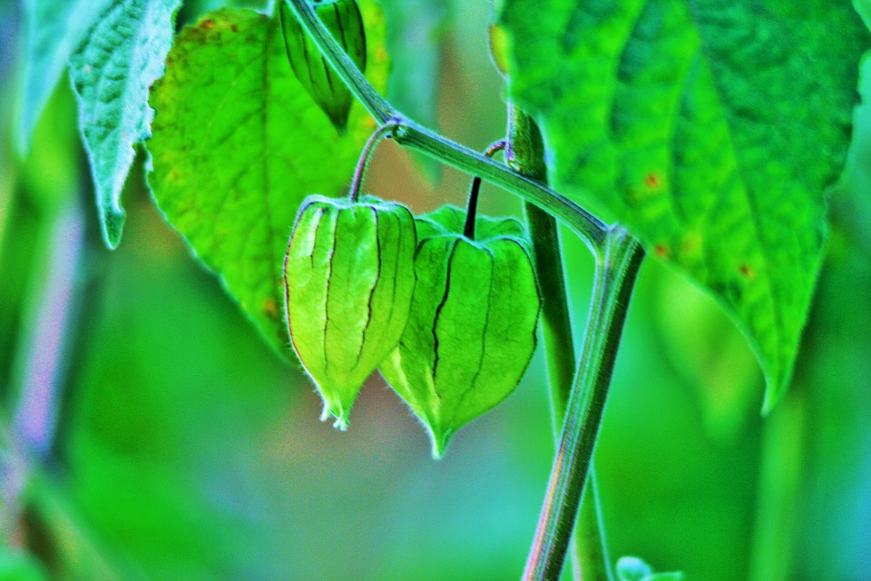 Cape Gooseberry, Fruit, Gooseberry, Green, Delicate