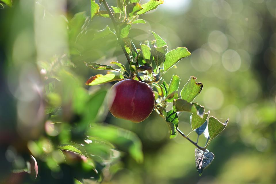 Apple, Light, Detail Of, In The Fall, Delicious