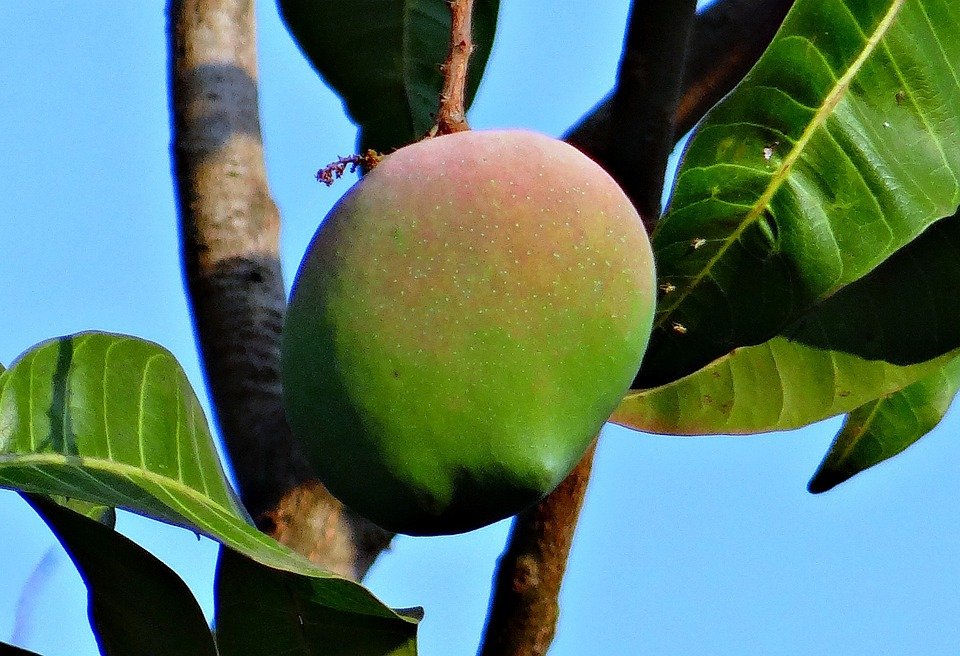 Mango, Rosy, Fruit, Attractive, Delicious, India