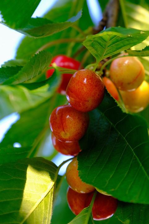 Cherries, Fruit, Sweet Cherry, Delicious, Sweet, Red