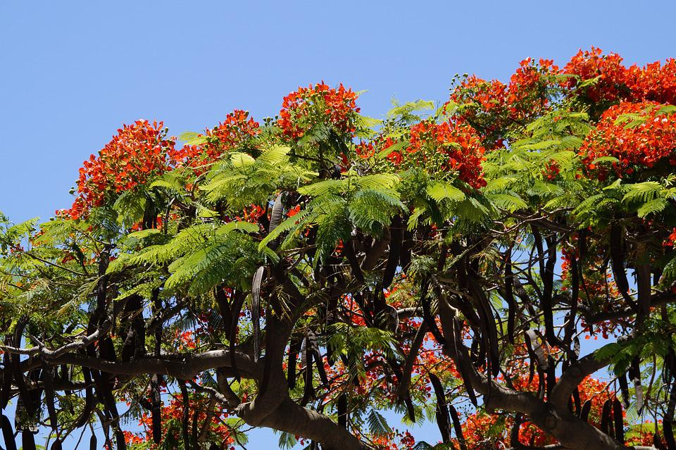 Flamboyant, Delonix Regia, Red, Flowers, Tropics