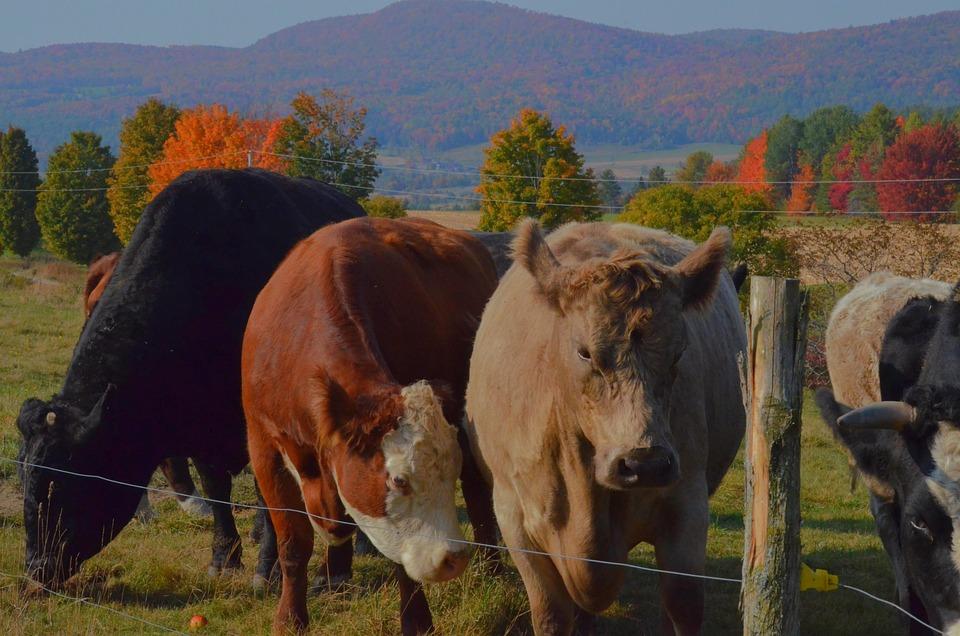 Cows, Farm, Cattle, Livestock, Demarcation, Ruminants