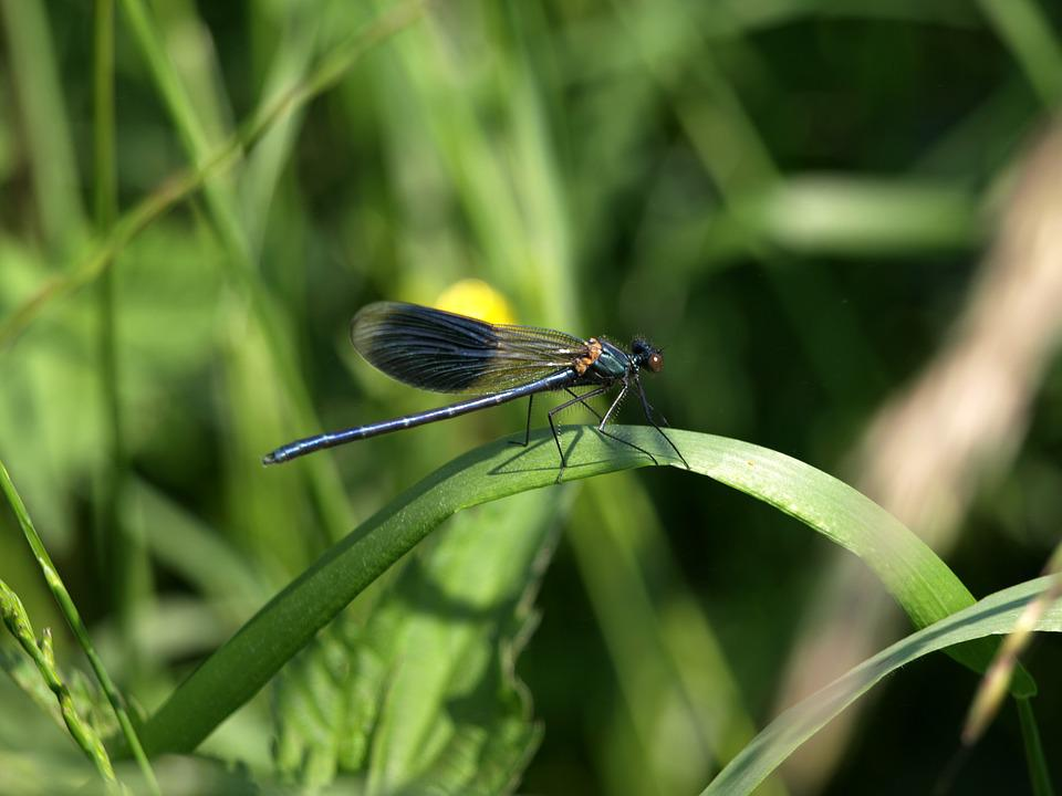Dragonfly, Grass, Nature, Wing, Demoiselle