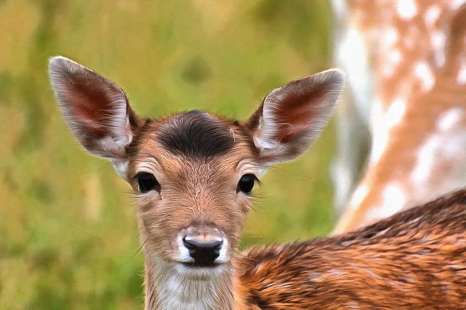 Fallow Deer, Game, Natural, Expensive, Denmark, Sweet