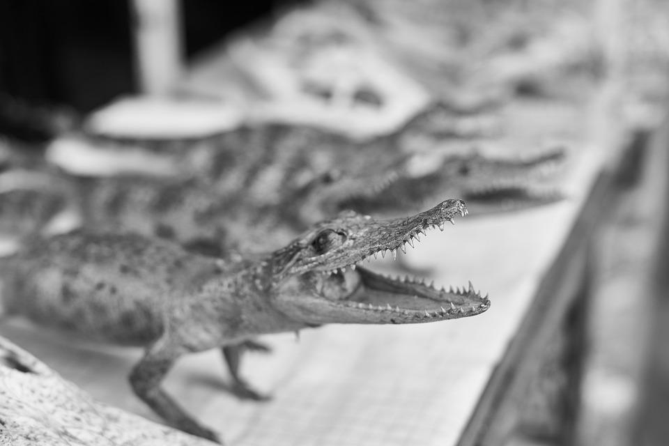 Crocodile, Ornament, Gift, Head, Dental, Wild, Goods